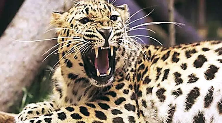 leopard-safari-parks-to-boost-tourism-in-southern-areas-of-gujarat Leopard Safari Parks to Boost Tourism in Southern Areas of Gujarat