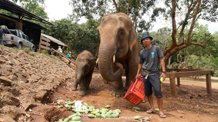 thailands-elephants-receiving-vital-support-to-see-them-through-the-covid-19-crisis-2 Thailand's elephants receiving vital support to see them through the COVID-19 crisis